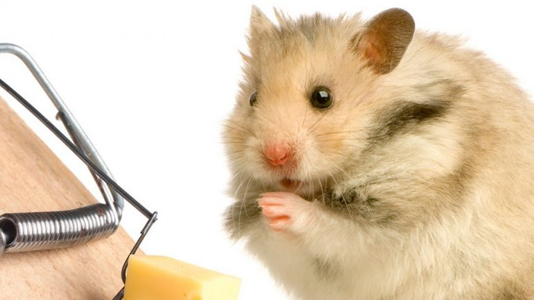 mouse eating cheese from a trap